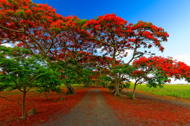 """Flamboyant Alley"" on Mauritius Island"